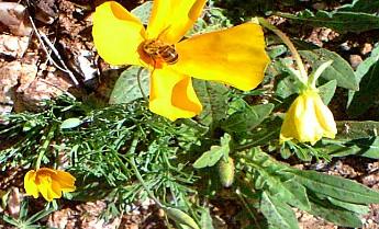 50-Poppie-pollenator-Telephone-Line-Trai