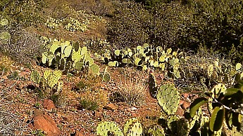 1x-Tip-Toe-prickly-pear.jpg