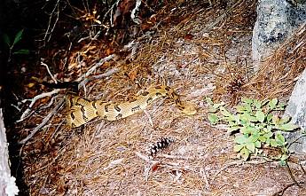 61-5-timber-snake.jpg