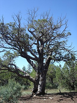 An-old-Alligator-Juniper-tree.jpg