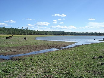 Cattle-and-Pinetop-Lake-near-where-we-ca