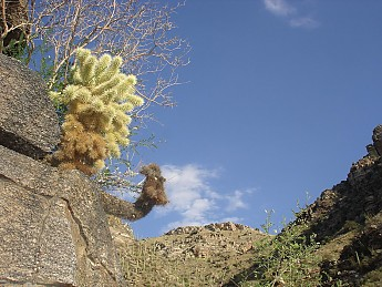 Yound-and-old-Cholla-Cactus-cling-to-a-g