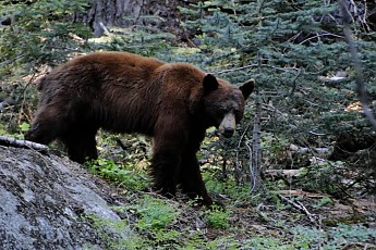 Late-afternoon-encounter-in-Sequoia-NP.j