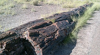 Petrified-log-section-d-PFNP-AZ.jpg