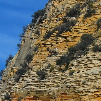 IMG_0838-Desert-Bighorn-Sheep-Rams-and-E
