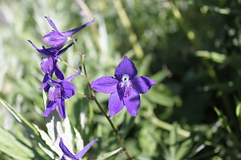 Mc106-Larkspur07.jpg