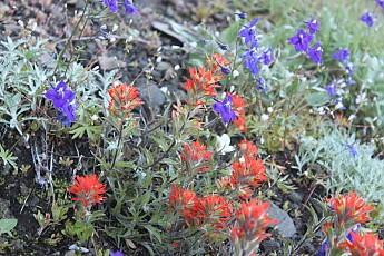 Mc107-Paintbrush-Larkspur08.jpg