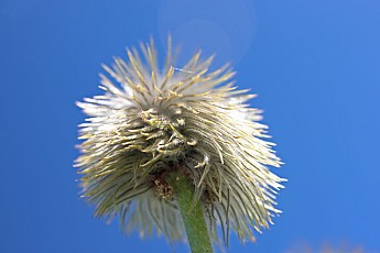 Mc118-PasqueFlower20.jpg