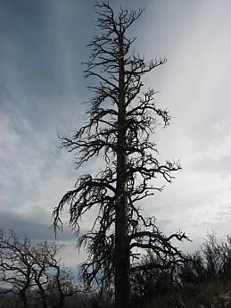 Tallold-dead-Ponderosa-Pine.jpg