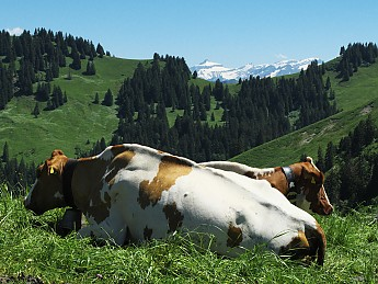 alpine-cows.jpg