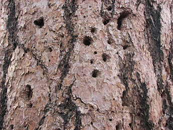 Woodpecker-holes-in-Ponderosa-Pine-Bark.
