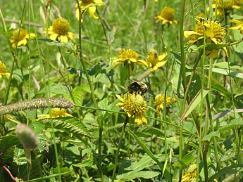 16-Another-bumble-bee-.jpg