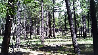 a5-Ponderosa-Pines.jpg