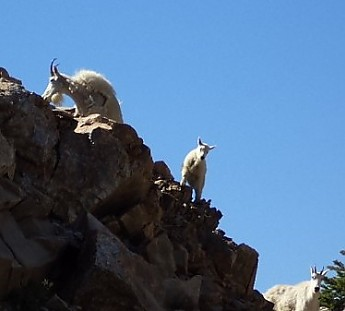 Rocky-Mtn-Goats-near-Paintbrush-Divide-G