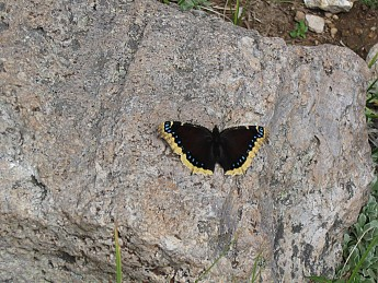 Butteryfly-at-11400-feet-at-Fremont-Pass