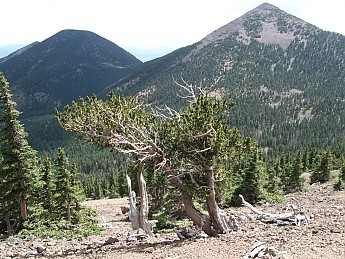 Bristlecone-Pine-at-11800-feet-Doyle-and