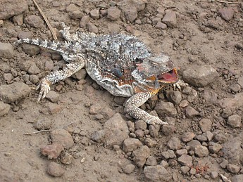 Found-on-trail-dead-this-Horney-Toad.jpg