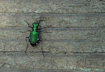 g-tiger-beetle.jpg
