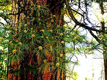 New-cones-on-Ponderosa-Pine-in-springtim