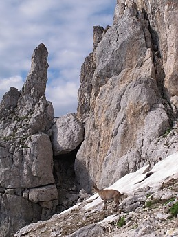 Bouquetin-below-summit.jpg