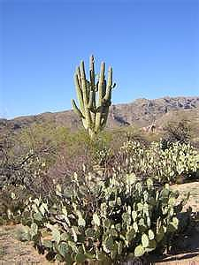 Giant-Saguaro-Cacti-with-many-arms.jpg
