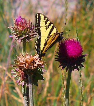 IMG_3134---Butteryfly-on-Thistle-weed-fl