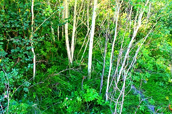 IMG_3072-Young-Aspen-grove-above-Teton-S