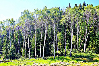 IMG_3094-Tall-Aspen-tree-grove-along-day