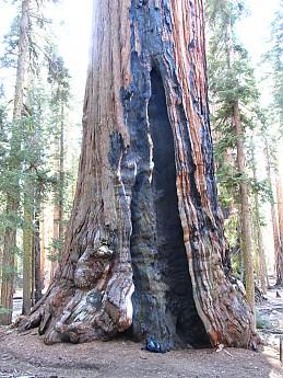Washington Tree Sequoia