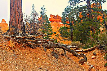 IMG_1017-Ponderosa-roots-in-Red-Canyon.j