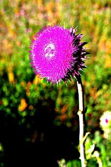 IMG_3031-Wild-Thistle-flower.jpg