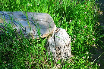 IMG_3033-A-beaver-cut-tree-stump.jpg