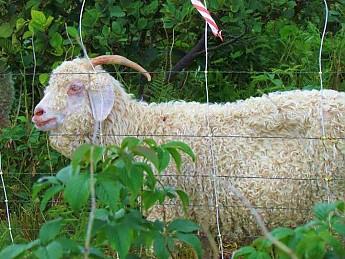 RH-Mountain-Sheep.jpg