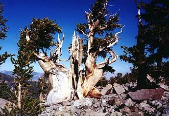 greatbasin1-Bristlecone-pine.jpg