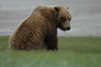BearAK2.jpg