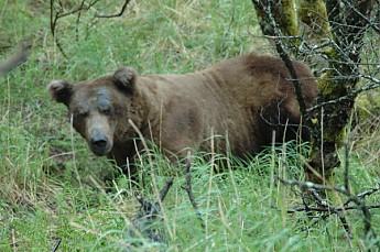 BearAK3.jpg