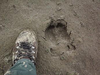 Caribou-track-on-river-bed.jpg