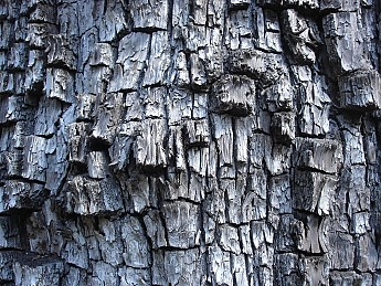 Bark-of-a-Alligator-Juniper-tree.jpg