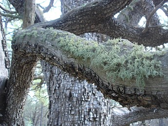 Green-lichen-growing-on-a-long-branch-of