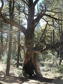 Burnt-out-trunk-of-a-Juniper-but-the-tre