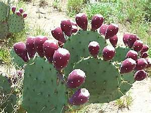 Prickly-Pear-cacti-with-fruit.jpg