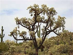 Chain-fruit-Cholla.jpg