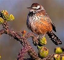 Cactus-Wren-and-Chain-Fruit-Cholla.jpg