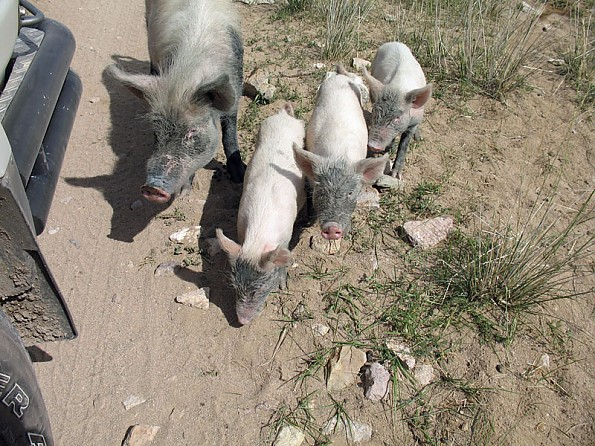 16-pigs.jpg