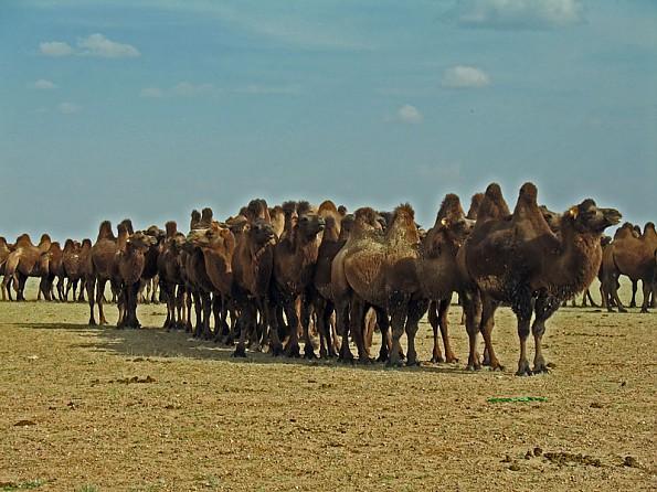 15-Camels.jpg