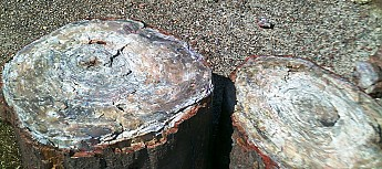 Petrified-log-sections-3-PFNP-AZ.jpg
