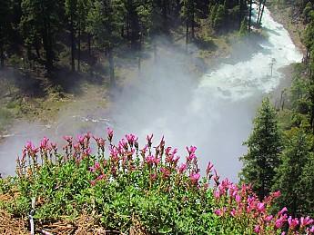 Nevada-Mist-Flowers.jpg