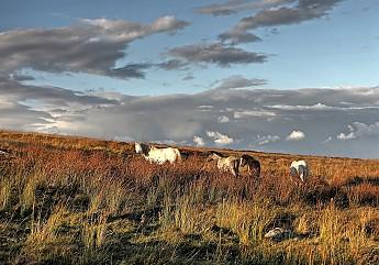 welsh-ponies.jpg