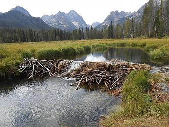 beaver-dam.jpg