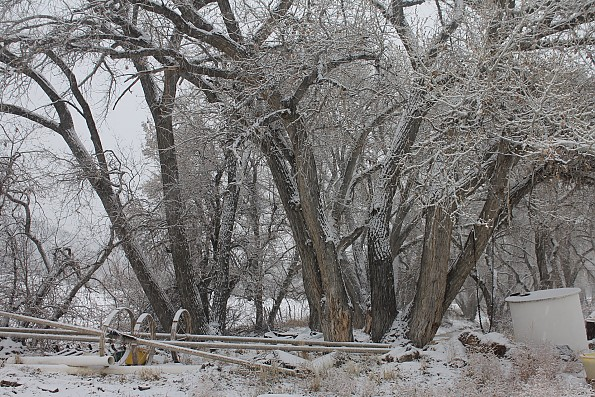 IMG_1534-Cottonwoods-and-irrigation-pipe